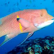 Galapagos Island Trip - Pink Fish