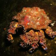 HORNBY ISLAND, BC - Crab