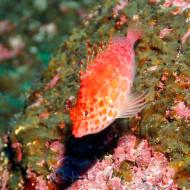 Galapagos Island Trip - Pinkfish